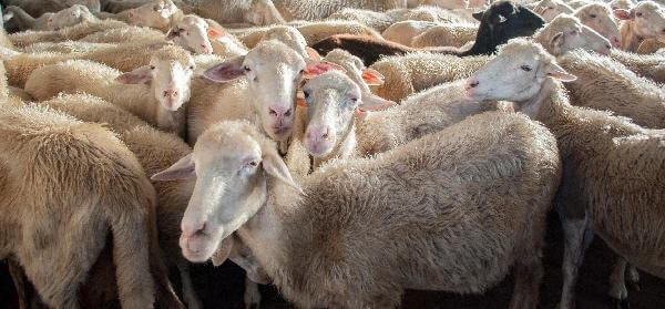 Sheep Farm Feasibility Study