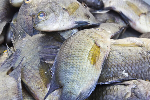 Fish Farming (Tilapia Culture) Feasibility Study